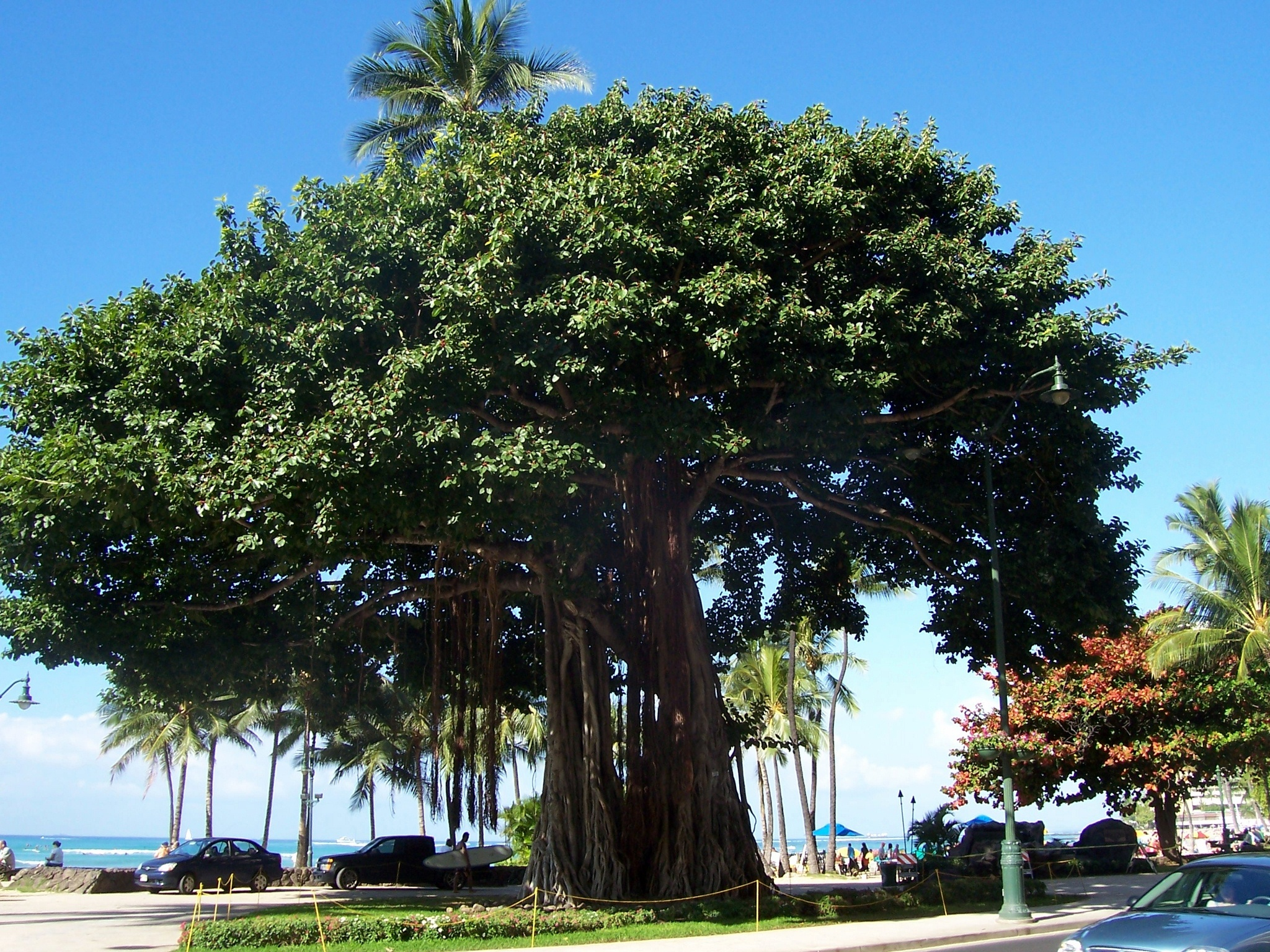 I Love Banyan Trees